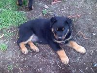 I have one male and one female AKC reg rott puppies