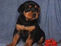 ROTTWEILER PUPPIES. WE HAVE MALES AND FEMALES