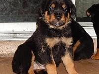 Rottweiler puppies 4m/4f these are the males, the