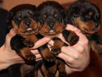 Rottweiler puppies, Blocky Heads square muzzles, big