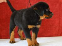Rottweiler Puppies, AKC register, 1 male and