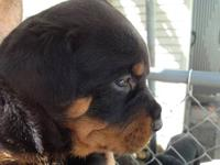 Rottweiler puppies,3 females,3 males,very healthy,and