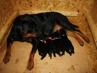 East Coast Rottweiler's has a Mothers Day Litter !