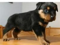 registered Rottweiler puppies for adoption now