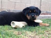 Exceptional Rottweiler Puppy Litter. If you Love that