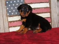 Animal Type: Dogs Breed: Rottweiler Rottweiler puppies