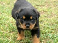 Rottweiler Puppies for Sale, Registered/registerable,