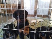 Rottweiler puppies for sale 5 weeks old and eating dry