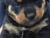 Adorable Rottweiler Puppies. 7 weeks old, males and