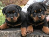 I have two puppies for Sale. They are very playful and