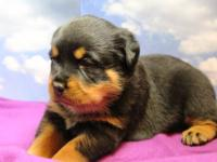 Rottweiler puppies for sale born October 18,2013, we