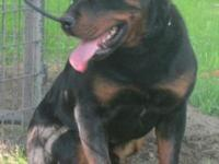 Rottweiler puppies for sale, born 10/3/14, they will