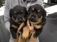 8 Purebred (no papers) rotteweiler young puppies. Male