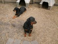 I have full blooded Rottweiler puppies that will be