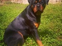 Rottweiler Pups 8 weeks Father on site Good quality