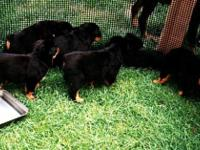 rottweiler puppies puppies for sale The babies will