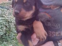Rottweiler puppies practically 8 weeks old. Just two