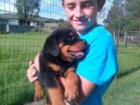 rottweiler puppies ready for new family home ,please if