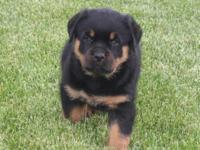 Beautiful Rottweiler young puppies. Adorable, Great