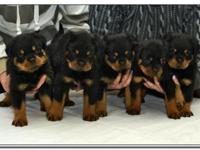 rottweiler puppies ready to go We have 4 Females and 5