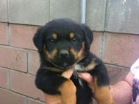 We have 4 Rottweiler puppies ready for their for life