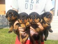 Absolutely beautiful Litter Of Rottweiler puppies ,