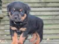 Stunning Rottweiler young puppies, Very Nice Dark