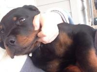 14 week aged purebred Rottweiler puppy offered to a