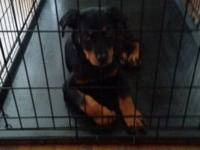 I am offering my 3 month old Rottweiler puppy. Its a