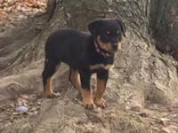 We have one little rottweiler puppy left, she was born
