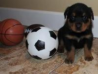Adorable 8 week old Rottweiler puppies ready for their