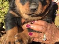 Female puppy, registered, all German lines for sale.