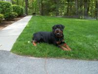 Handsome Male Rottweiler puppy , Raised w kids awesome