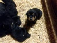 Registered Rottweiler Puppies. Born April 2, 2018 and