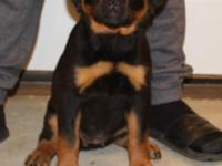 Hello everyone, I have 2 AKC German Rottweiler female