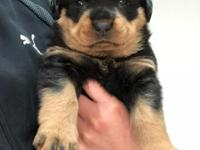 German Rottweiler Boy Puppy Available. He's THE BIGGEST