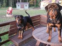Introducing top pedigree Rottweiler puppies. European
