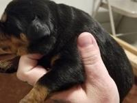 Introducing top pedigree Rottweiler puppies.European