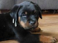 Rottweiler puppy male, ready now ! Great Dark markings