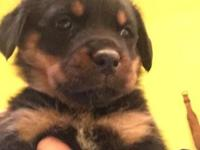 German Rottweiler puppy akc needs a forever home. One