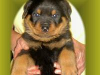 Rottweiler Puppies, AKC signed up, Born on 10/28/14