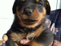 Rottie pups born 11/25/17 ready to go, text or