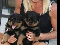 $900 AKC registered males German bloodlines out of
