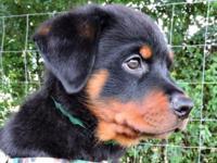 AKC European lineage Rottweiler puppies. Champion