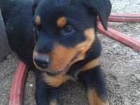 Gorgeous pure bred rott pups available. Registered with