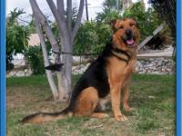 Rottweiler - Rosco - Large - Adult - Male - Dog