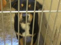 Rottweiler - *ruger - Large - Young - Male - Dog