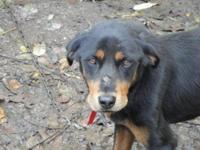 Rottweiler - Sabrina - Large - Adult - Female - Dog I'm