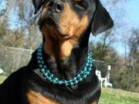 Rottweiler - Sally - Large - Adult - Female - Dog Hang