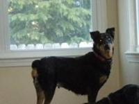 Rottweiler - Sasha - Large - Adult - Female - Dog Name: